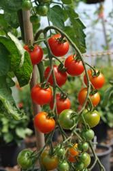 tomato-gardeners-delight-001.jpg