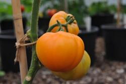 tomato-hawaiian-pineapple-002.jpg