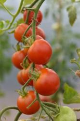 tomato-primavera-001.jpg