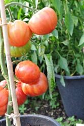 tomato-vintage-wine-004.jpg