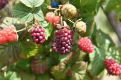 tummelberry-001.jpg