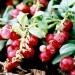 sq-mountain-cranberry-002.jpg