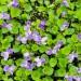 viola-odorata-002.jpg