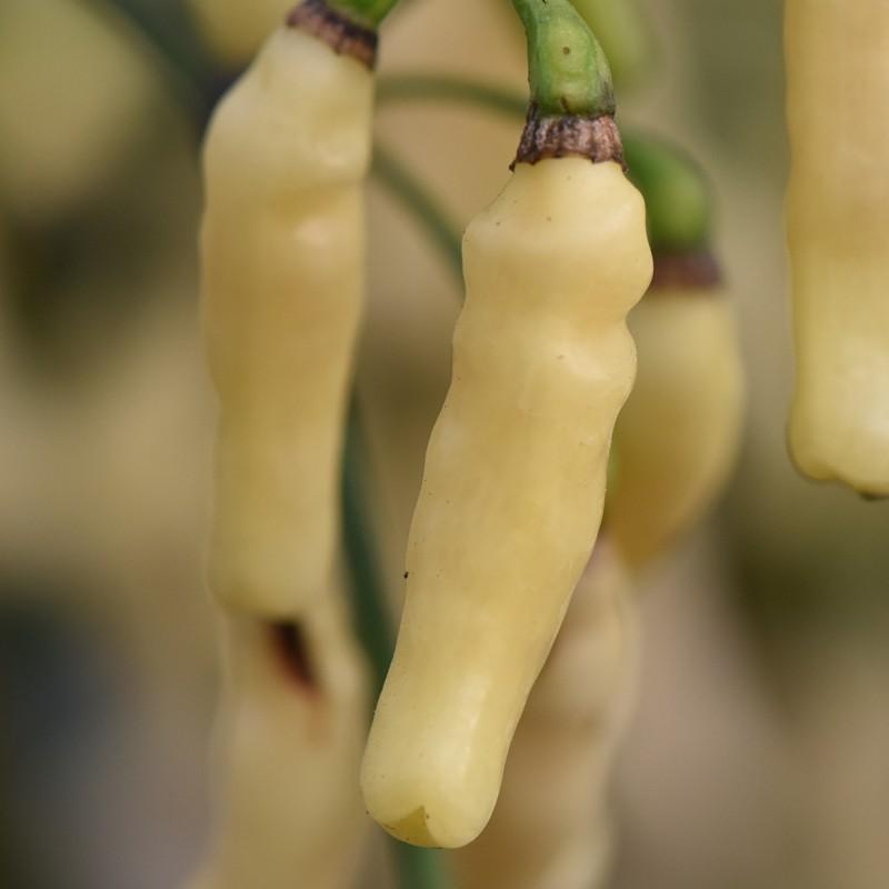 10 Seeds Hot Chilli Pepper Aji Delight