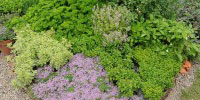 Image of a mixed herb bed.