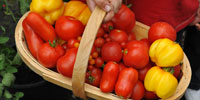Image of a basket of mixed tomatoes.